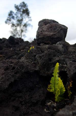 obrero: helecho amau ??recibe a trav�s de la capa de lava cerca de la cadena de cr�teres carretera, Volc�n State Park, Big Island, Hawaii