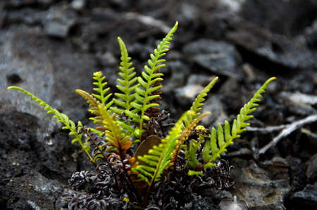 labourers: Amau fern in front of heap of lava stones near Chain of Craters road, Volcano State Park, Big Island, Hawaii Stock Photo