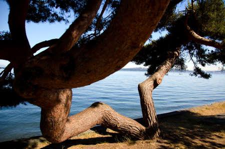 cicuta: Ramas de pino en forma de la letra W en la playa de Alki bajo el sol brillante de la mañana