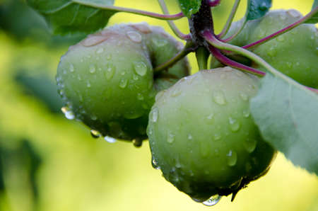 williams: Williams Pride apples covered by rain drops Stock Photo