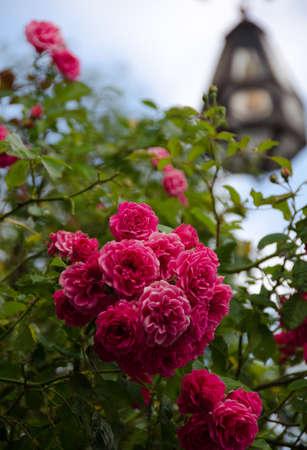 burg: Wild rose in Burg Altena, Markischer Kreis, North Rhine-Westphalia Stock Photo
