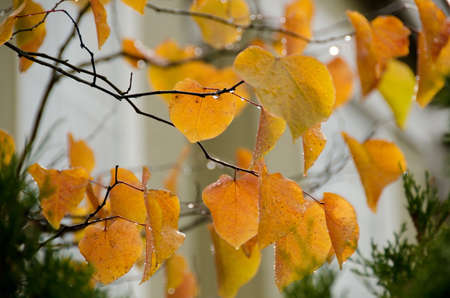 woodbridge: Golden leaves in Seattle�s neighborhood covered by raindrops during autumn season