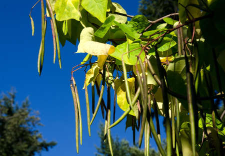 catalpa: Long bean pods of Northern catalpa in university campus, Seattle Stock Photo