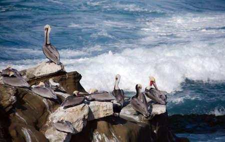 webbed foot: Pelicans on rocks at Point La Jolla, San Diego