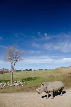 daunting: Dry tree and alone White Rhino under blue skies in a safari park