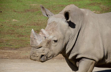 daunting: Portait of a grown white Rhino male in a safari park Stock Photo