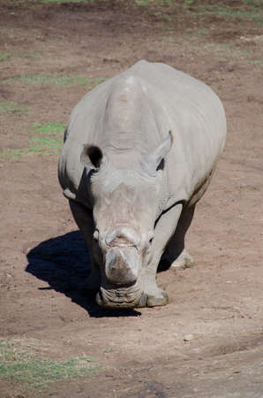 daunting: Portrait of seemingly unfriendly white Rhino watching approaching caravan in a safari park
