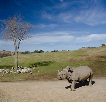 daunting: Landscape with a dry tree and alone White Rhino under blue skies in a safari park Stock Photo