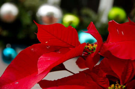 seaport: Poinsettias and colorful glass balls during Christmas holidays in Seaport village, San Diego