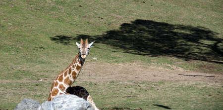 terrestrial mammal: Giraffe lying behind a rock at a safari park