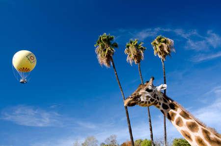 african basket: Giraffe, palm grove and yellow balloon in safari park