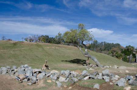 terrestrial mammal: Giraffe behind a row of rocks at a safari park