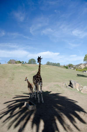 terrestrial mammal: Giraffes family hiding in shadows of palm tree in a safari park