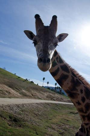 terrestrial mammal: Portrait of a curious giraffe wondering around caravan in a safari park Stock Photo