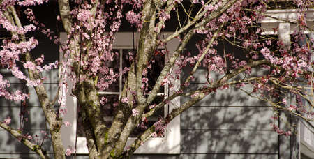 suburbs: Blooming cherry tree hides walls of a house in Redmond, Seattle suburbs Stock Photo