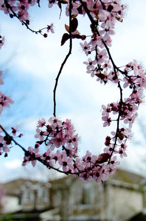 suburbs: Loops made by blooming cherry branches in Redmond, Seattle suburbs