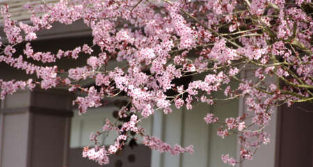suburbs: Blooming cherry tree hides windows of a house in Redmond, Seattle suburbs