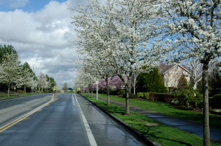 residential street: Asphalt road of a residential street in Redmond, Seattle suburbs, with blooming cherry trees