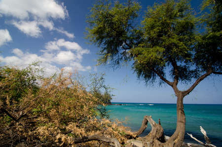 ironwood: Heliotropes and ironwood trees at beach 69 - 2, Big Island, Hawaii Stock Photo