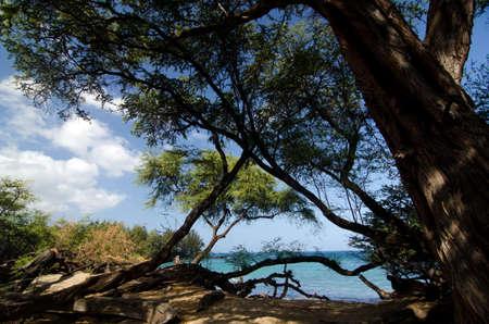 breakaway: Heliotropes and ironwood trees at beach 69, Big Island, Hawaii