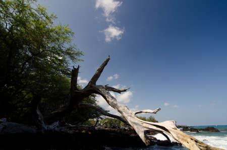 big island: Giant dry trunk at beach 69, Big Island, Hawaii Stock Photo
