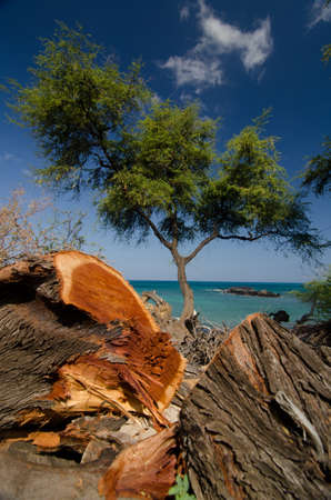 ironwood: Heliotropes and ironwood trees at beach 69 - 3, Big Island, Hawaii Stock Photo