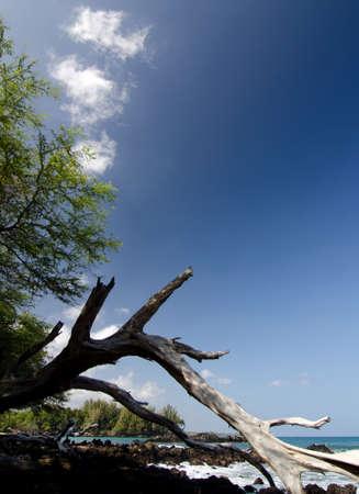 breakaway: Massive piece of white dry wood trunk at Beach 69, Waialea, Big Island