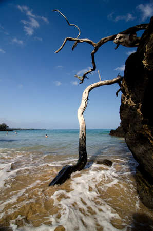 big island: Burned dry wood at Puako beach, Big Island, Hawaii