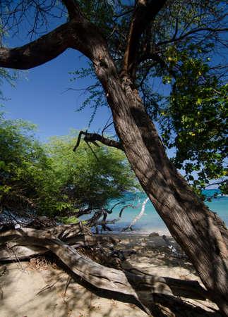 breakaway: Ironwood at Puako Beach, Big Island, Hawaii Stock Photo