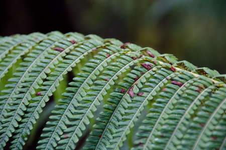 fiddlehead: Amau ferns in the forest near Thurston Lava Tube in Hawaii Volcanoes National Park, Hawaii Stock Photo