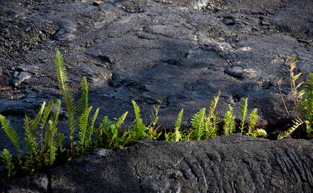 lava field: Amau fern breaks through Kalapana lava field, Puna district, Big Island Stock Photo