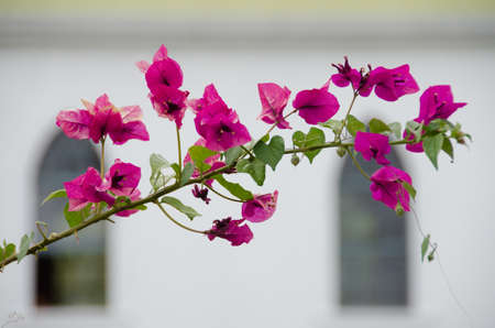 kona: Pink Bougainvillea in front of Painted Church of St Benedict, Big Island. Hawaii