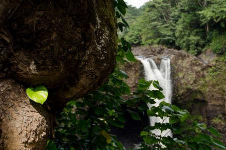 river trunk: Wailuku; River; Rainbow; falls; Hilo; wide; large; weathered; trunk; bark; fresh; green; leafdecoration, decorative, design, fibre, hawaii, hawaiian, leaf, leafs, lush, mellow, pattern, big; island Stock Photo