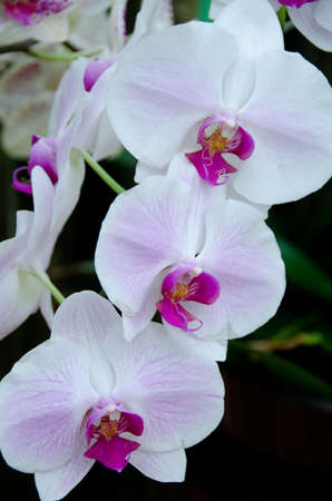 sepal: Phalaenopsis flowers in a garden near Volcano State Park, Big Island, Hawaii Stock Photo