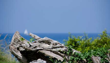 drywood: Yacht with white sail goes by drywoods of Kaunaoa Beach, Big Island, Hawaii