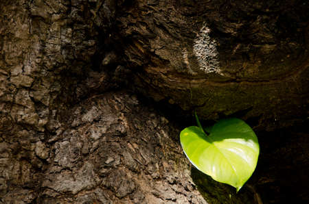 big leafs: Wailuku; River; Rainbow; falls; Hilo; wide; large; weathered; trunk; bark; fresh; green; leafdecoration, decorative, design, fibre, hawaii, hawaiian, leaf, leafs, lush, mellow, pattern, big; island Stock Photo