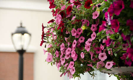 flower baskets: Large hanging flower baskets with petunias and street lamps in Redmond Town Center