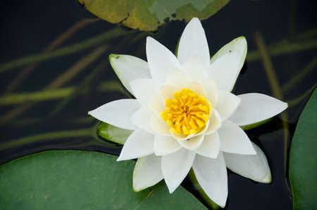 aquatic herb: Alone water lily in Washington lake near Seattle Arboretum park