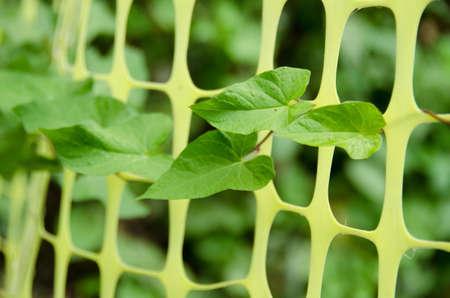thru: Closeup of green ivy leaves pushing thru plastic fence around construction site near Seattle Arboretum park construction