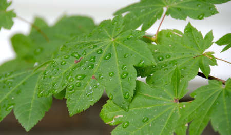 refreshed: Maple leaf refreshed by morning rain in Seattle suburb