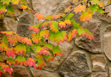 japanese fall foliage: Red and green maple foliage and branches form colorful ivy like chain on a stone wall