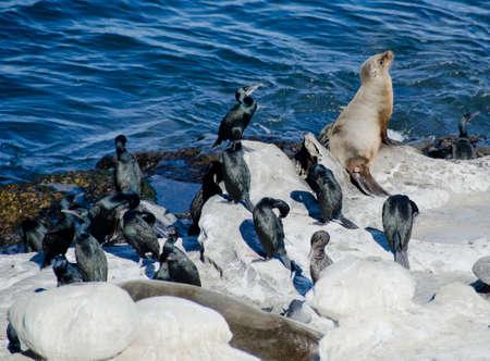 California sea lion in the company of Brandt Cormorants near La Jolla Cove Stock Photo