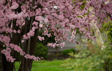 Power of blooming cherry trees in Seattle suburbs, Seattle, Washington