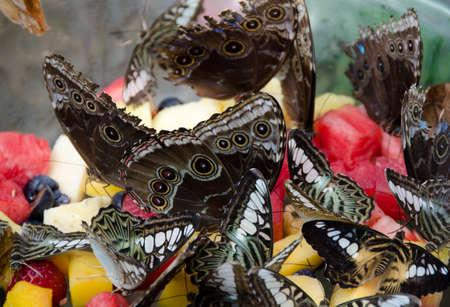 Watching giant owl butterflies in botanic garden in Scottsdale, Arizona