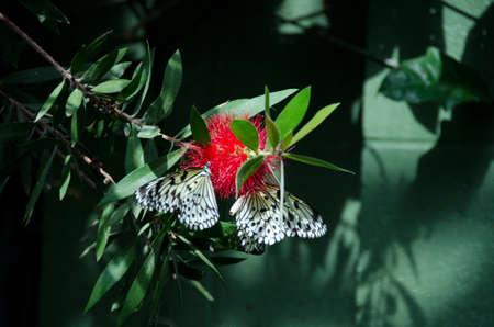 conservatory: Paper, kite butterfly on red geranium flowers, Scottsdale, Arizona Stock Photo