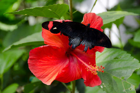 great Mormon butterfly  on red hibiscus flower in botanical garden in Scottsdale, Arizona