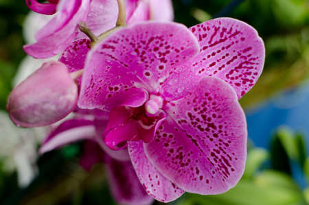 Pink Phalaenopsis Orchid in Hawaiian garden near Volcano State Park Stock Photo