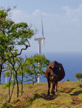 Cow  near wind turbine  at Upolu Point, Big Island, Hawaii Stock Photo