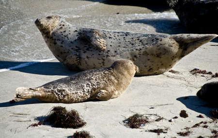 Seals enjoying Christmas sun in La Jolla  at childrens  pool Stock Photo