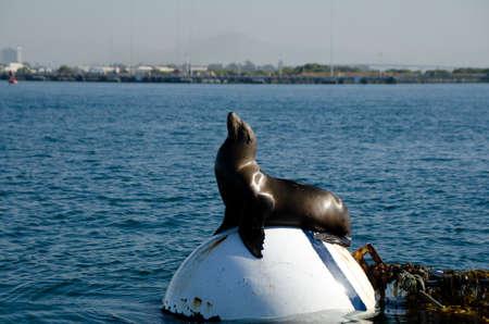 California sea lion taking sun bath on buoy near Shelter island, San Diego